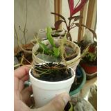 Planta Carnívora Drosera Binata