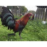 Pollos Y Gallos Finos De Combate De Alto Registro Sangres De