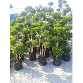 Arrayan Tipo Bonsai (buxus Sempervirens)