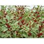 100 Semillas De Flor De Jamaica