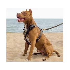 Filhotes De American Pitbull Terrier 2 Meses