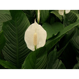 Cuna De Moises (género Spathiphyllum) 1m