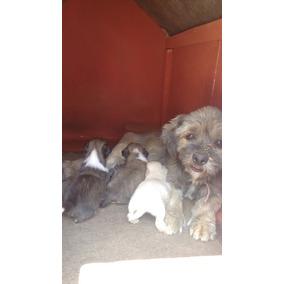 Vende Se Filhotes De Lhasa Apso Machos 550$ E Fêmeas 700$