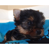 Machos Yorkshire Terrier Inscritos El Milagro Azul