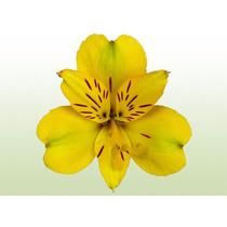 Bulbo De Alstroemeria Amarela - Tubérculo - Promoção!