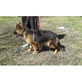 Cachorra Pastor Aleman Pelo Largo De Un Año De Edad, Pedigre