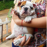 Cachorros Bulldog Ingles Con Pedigree/vacunas