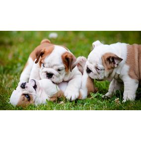 Perros Bulldog Ingles Machos