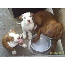 Filhotes Pitbull Vacinado Cãe Cabeçudo Inteligentes
