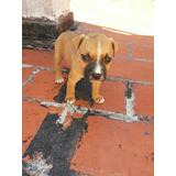 Cachorros Pitbull Terrier Puros. Padres A La Vista.