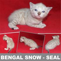 Gato Bengal - Filhote Cor Snow Seal Disponível Para Reserva