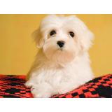 Cachorros Bichon Maltés Raza Antialérgica - Acepto Tarjeta