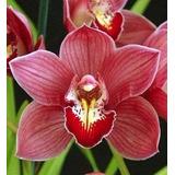 Muda De Orquídea Cymbidium Vinho - 10 A 15cm - Promoção!