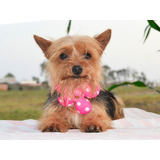 Hermosa Yorkshire Terrier Toy - Fotos Reales