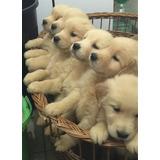 Cachorros Golden Retriever 100% Puros
