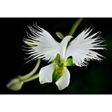 10 Sementes Orquídea Pomba Da Paz Planta Flor Bonsai./ Rosas