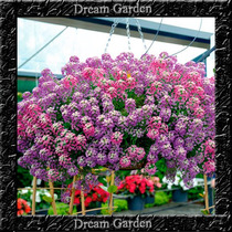 Lobularia Maritima Violet Sementes Flor Para Mudas
