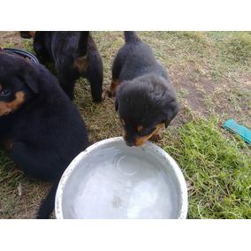 Rottweiler Cabeça Grande $599