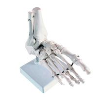 Pie Esqueleto Modelo Anatomico Hm4
