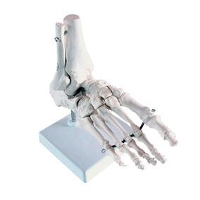 Pie Modelo Anatomico Tobillo Articulado