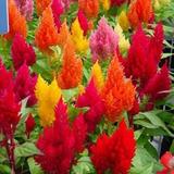 30 Sementes De Flor Crista De Galo Rabo De Galo Várias Cores
