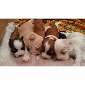Bichon Habaneros Cachorritos Con Fca