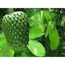 Árbol De Guanabana