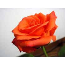 Kit 8 Mudas De Rosas Enxertadas (coloridas)