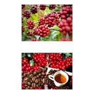 40 Sementes De Café Arábica Clonado Resistente A Geadas