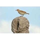 Hornero - Aves Del Uruguay - Fauna - Lámina 45x30 Cm.