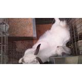 Conejos 100% Nueva Zelanda Y California, Razas Carnicas!!!
