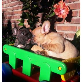 Bulldog Francés Excelentes Cachorros Con Pedigree Fca