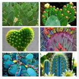 20 Sementes De Cactos Azul Para Jardins Suculentas