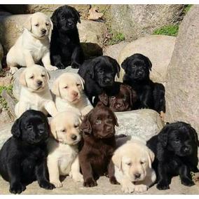 Cachorros Labradores Retriever Arena Y Negro
