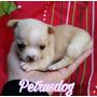 Chihuahua Pedigree Kennel Club Uruguay Todo El Año Montevide