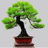 Pinheiro Negro Japonês - Pinus Bonsai Ou Árvores 10 Sementes