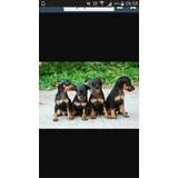 Cachorros, Perritos Doberman Pincher Miniaturas Puros
