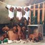 Cachorros De Setter Irlandés - Criadero Del Peuma