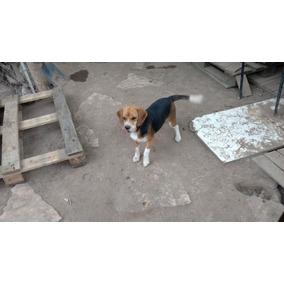 Perra Beagle Tricolor De Un Año ,con Vacunas Al Día