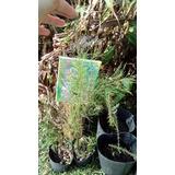 Casuarina. Plantas Y Plantines. Cortinas De Viento