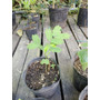 Plantin Albizias Julibrissin,bonsái Pre Bonsái No Algarroba