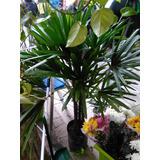 Planta Rafis
