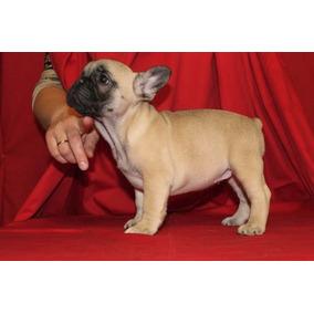 Bulldog Francés Excelente Linea De Sangre. Machos