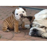 Cachorros Bulldog Ingles Machos