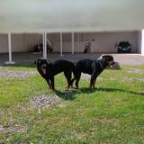 Cachorros Rottweiler Raza Pura Padre Con Pedigree
