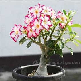 10 Sementes Mix Rosa Do Deserto Adenium Obesum - Frete 6,90
