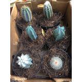 Cactus Exoticos Grandes Por Caja Con 4 Piezas .