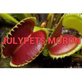 Plantas Carnivoras Venus Morón Atrapa Mosca Dionaea Julypets