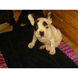 Bulldog Frances, Prontos Para Entregar Con Todas Sus Vacunas