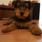 Airedale Terrier La Mejor Mascota Padres Fca